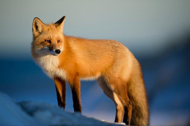 Fuchs in Natur